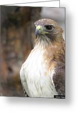 Magnificent Red-tailed Hawk  Greeting Card