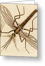 Magnified Mosquito Greeting Card