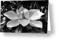 Magnolia Bloom B/w Greeting Card