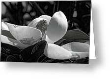 Magnolia Blossom B W Greeting Card