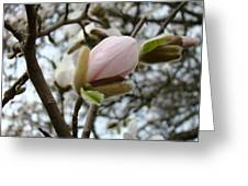 Magnolia Flower Pink White 19 Magnolia Tree Spring Art Greeting Card