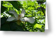 Magnolia Macrophylla  Greeting Card