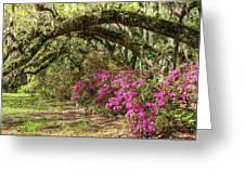 Magnolia Plantation's Live Oaks And Azaleas  Greeting Card