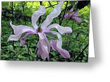 Magnolia Soulangeana Greeting Card