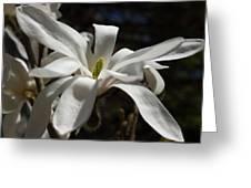 Magnolia Stellata Greeting Card