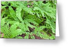Maidenhair Ferns In Columbia River Gorge Closeup Greeting Card