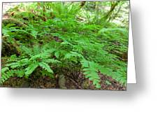 Maidenhair Ferns In Columbia River Gorge Greeting Card