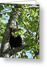 Maine Black Bear Cub In Tree Greeting Card