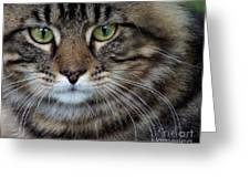 Maine Coon Cat Portrait Greeting Card