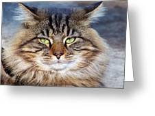 Maine Coon I Greeting Card