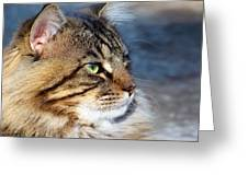 Maine Coon II Greeting Card