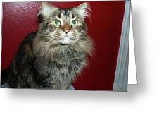 Maine Coon Portrait Greeting Card