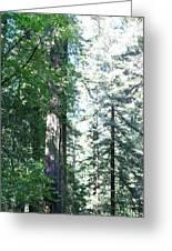 Majesic Redwoods Greeting Card