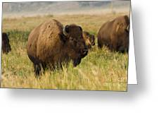 Majestic Bison Greeting Card