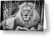 Majestic Male Lion Black And White Photo Greeting Card