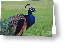 Majestic Peacock Greeting Card