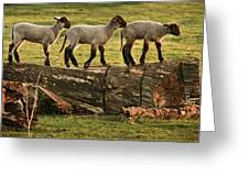 Makeway For Lambs Greeting Card