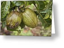 Malabar Chestnuts Greeting Card