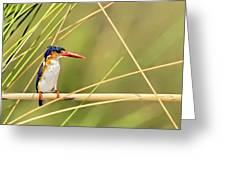 Malachite Kingfisher On Watch Greeting Card