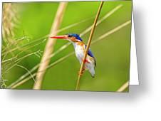 Malachite Kingfisher On The Hunt Greeting Card