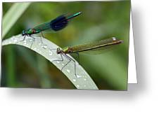 Male And Female Damsel Fly Greeting Card