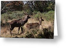 Male And Female Mountain Nyala Greeting Card