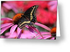 Male Black Swallowtail Butterfly On Echinacea Plant Greeting Card