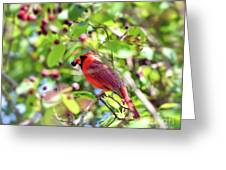 Male Cardinal And His Berry Greeting Card by Kerri Farley