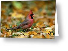 Male Cardinal Cardinalis Cardinalis Greeting Card