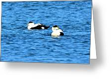 Male Common Eiders Greeting Card