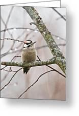Male Downey Woodpecker Greeting Card