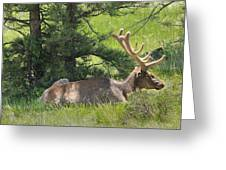 D10271-male Elk 2  Greeting Card
