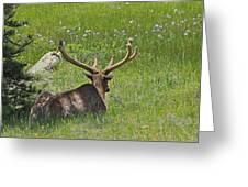 D10270-male Elk  Greeting Card