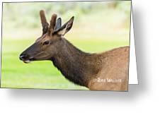 Male Elk Greeting Card