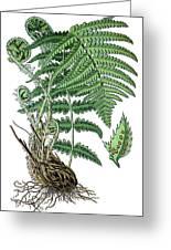 male fern, Dryopteris filix-mas Greeting Card