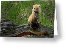 Male Fox-signed   #3569 Greeting Card