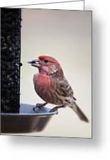 Male House Finch Feeding Greeting Card