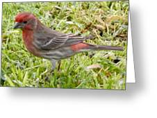 Male House Finch Greeting Card