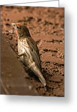 Male House Finch V10 Greeting Card