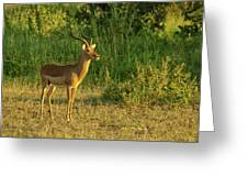 Male Impala At Sunset Greeting Card