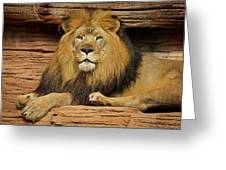 Male Lion Looking Right At Me Greeting Card