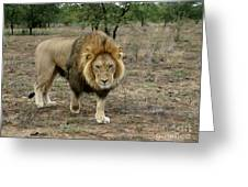 Male Lion On Alert Greeting Card