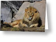 Male Lion Resting In The Warm Sunshine Greeting Card