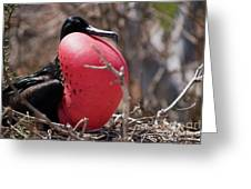 Magnificient Frigatebird  Greeting Card