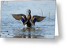 Male Mallard In Glorious Color  7515 Greeting Card