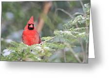 Male Northern Cardinal 2 Greeting Card