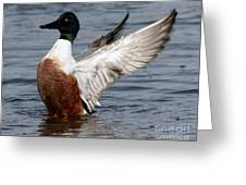 Male Northern Shoveler Wing Flapping Greeting Card