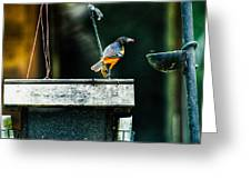 Male Oriole  Greeting Card