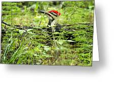 Male Pileated Woodpecker On The Ground No. 2 Greeting Card