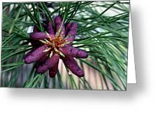 Male Ponderosa Pine Cones Greeting Card